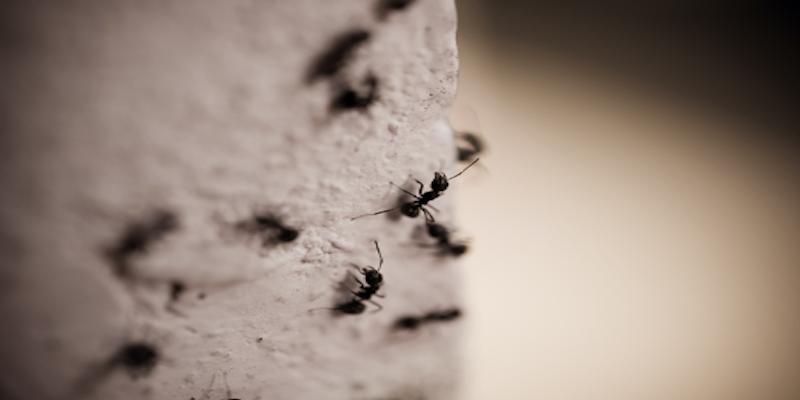 Comment repérer et éliminer naturellement les fourmis charpentières?